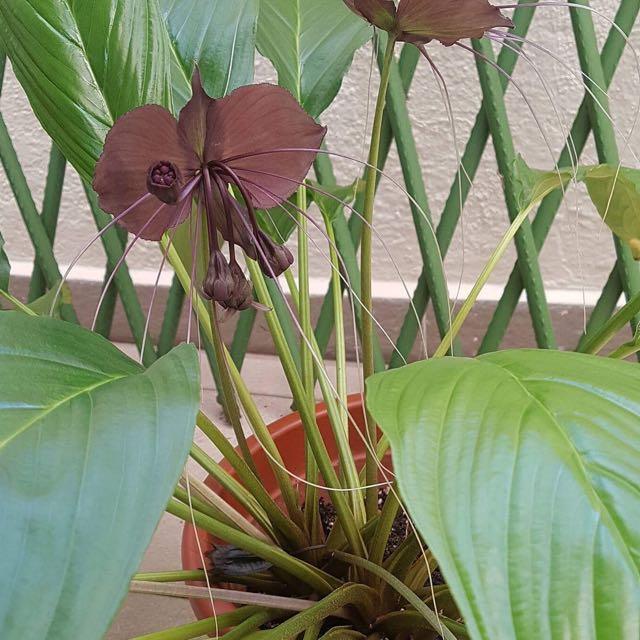 Rare Tacca Chantrieri 'Black Flower Bat'🦇