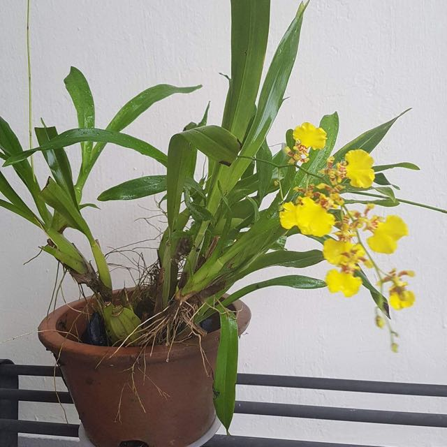 Orchid- 'Dancing Lady'