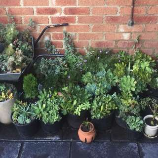 Bulk Succulents & Plants Plus Wheelbarrow