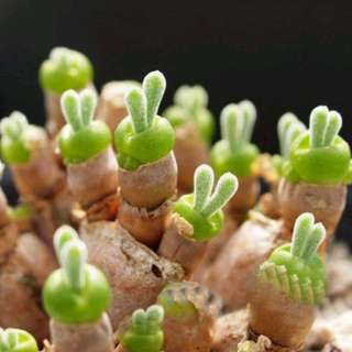 "Lithop Seeds ""Bunny Ears"""