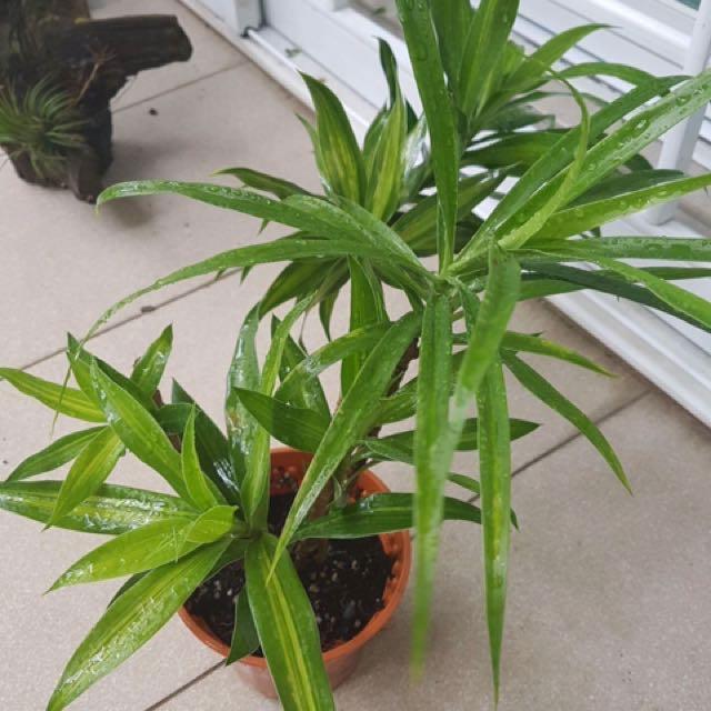Indoor Plant- Dracaena