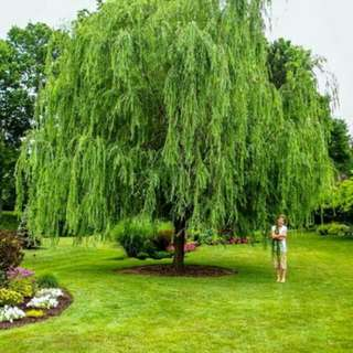 Pokok Janda Merana ( Weeping Willow / Salix Babylonica )