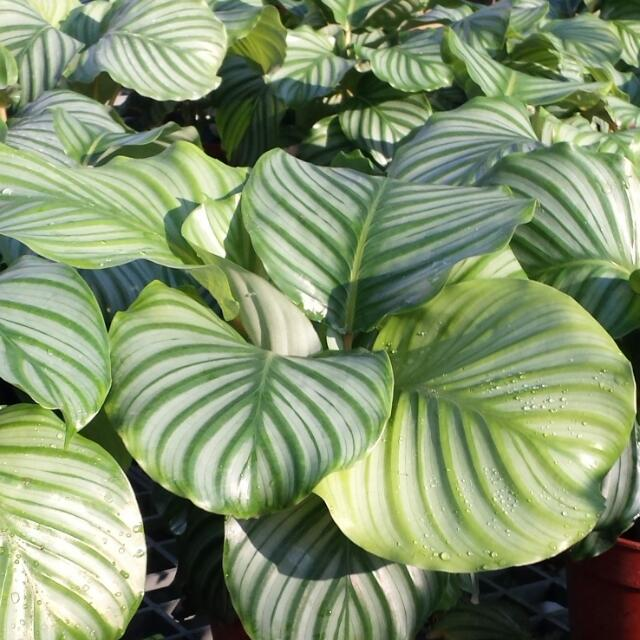 plant calathea orbifolia calathea rotundifolia 15cm pot gardening on carousell. Black Bedroom Furniture Sets. Home Design Ideas