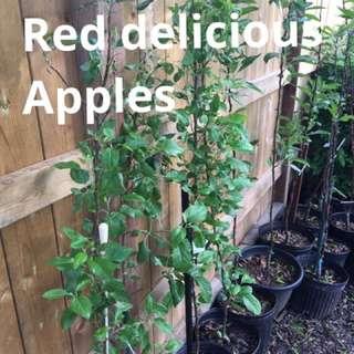 Japanese Maples , Apple Trees , Berries Plus More