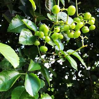 Bush Grape (Cayratia Trifolia)