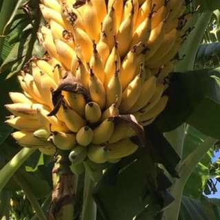 Sweet Banana  Plant (Lady Finger)