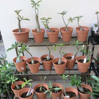 SALE!!! 17 Pots Of Grafted Adenium