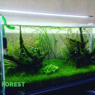 Aquatic plant - Eleocharis Mini (carpeting foreground)