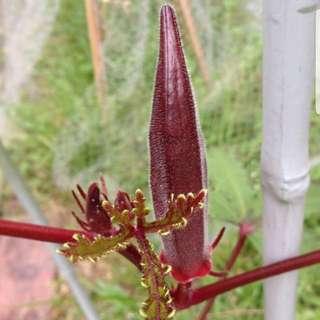 Seeds: Red Okra