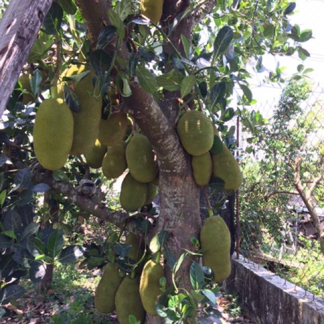 波羅蜜🌳在欉黃👍🏼好吃的菠蘿蜜jackfruit#Mít #nangka /一斤25元
