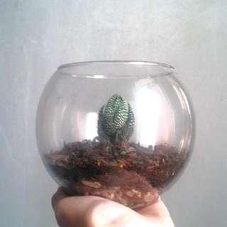 terarium cactus (all type of cactus)