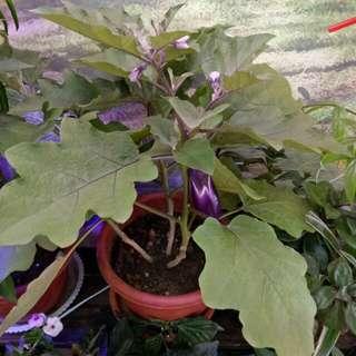 Brinjal ( Eggplant)  Plant