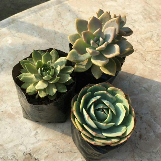 Succulent Real Plant Home Decor Promo