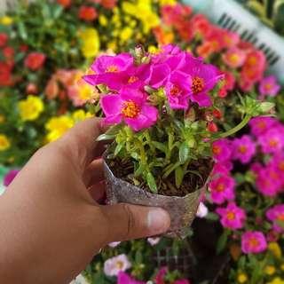 Vietnam Rose Cuttings