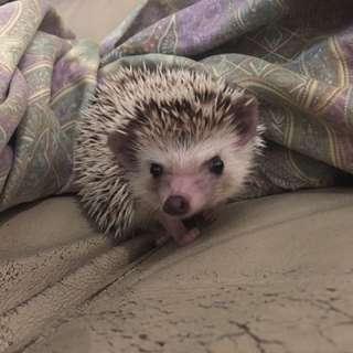 African Pygme Hedgehog (Female)