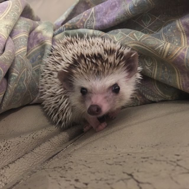African Pygme Hedgehog (Female)