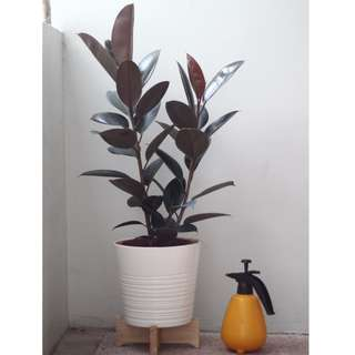 Potted Ficus elastica 'Black Burgundy'/ 'Black Prince' (Rubber Tree Plant)