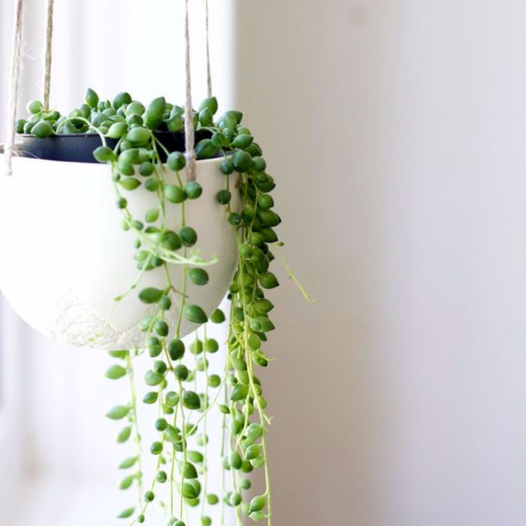 String of pearls gardening on carousell for Plante xiaomi