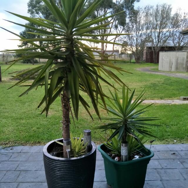 2 X Yukka Plants In Pots