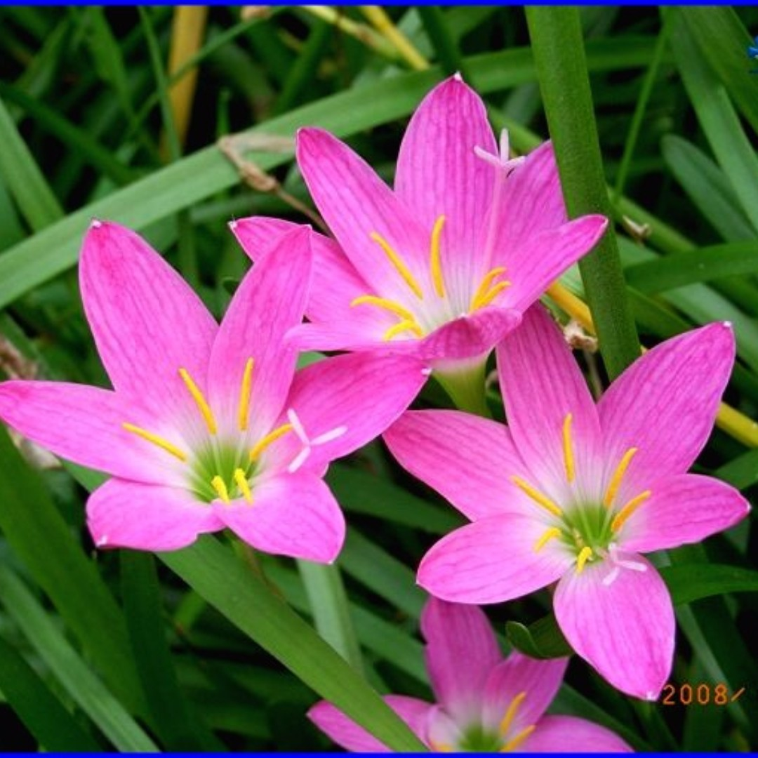 Pink Rain Lily Potted Zephyranthes Rosea Gardening On