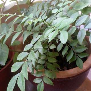 Curry Leaves Potted Plants