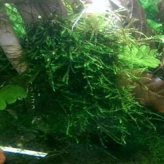 Aquarium Anchor Moss