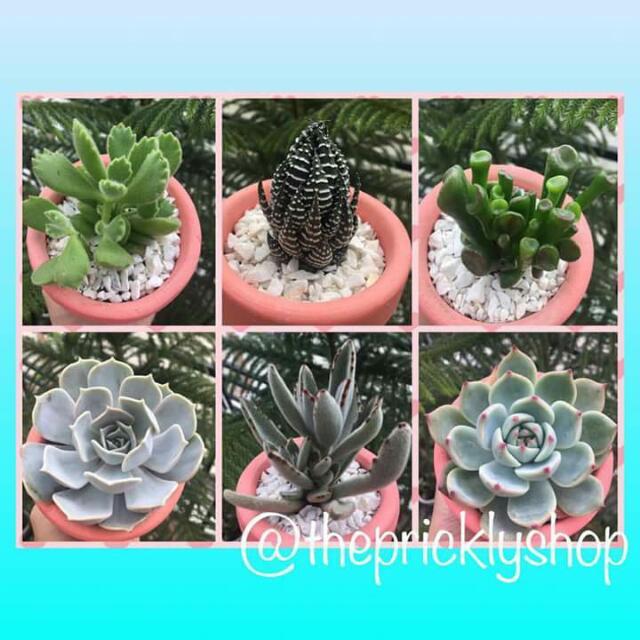 Sucullent Plant
