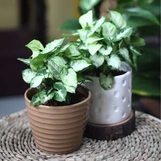 "Potted Syngonium ""Pixie"" (Indoor Plant)"