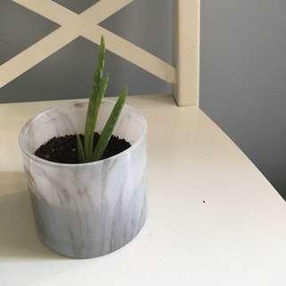 Aloe Plant 🌱