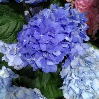 Dark Blue Hydrangeas - Galenka