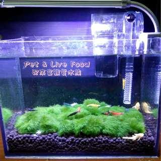 💜療癒小蝦缸💜書桌/辦公桌小品~Pet & Live Food【配來富觀賞水族】~觀賞蝦 套缸 小缸 迷你缸