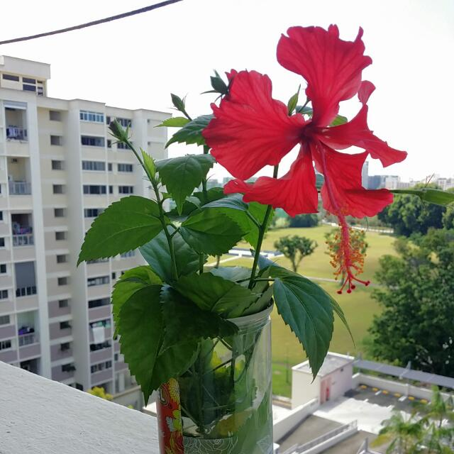 Hibiscus Cuttings With Buds And Roots Gardening On Carousell