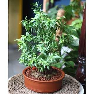Modern Bonsai: Double Petalled Wrightia Regliosa (Water Jasmine/ 越南水梅) in clay vessel