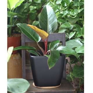 Potted Philodendron 'Rojo Congo'