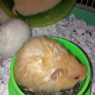 Hamster Package For Sale!