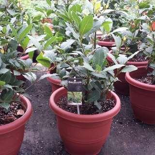 Herb Plant - Decorum Holland Laurus Nobilis (Bay Laurel / Bay Leaves)月桂🌿($24/$38)