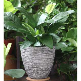 Potted Air-purifying Spathiphyllum wallisii (Peace Lily - Large)