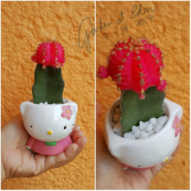 Hello Kitty Pot Pink Moon Cactus