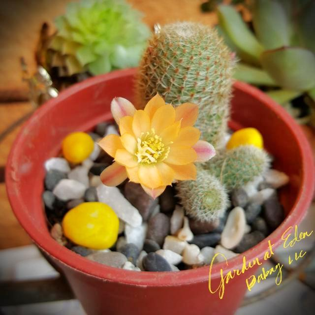 Flowering Cute Cactus For Indoors