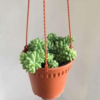Sedum Succulent ( Donkey Tails)