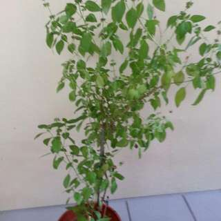 Lemon Basil Potted Plant