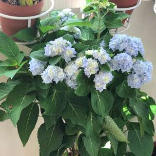 Big And Beautiful Hydrangea Plant( Free Delivery)