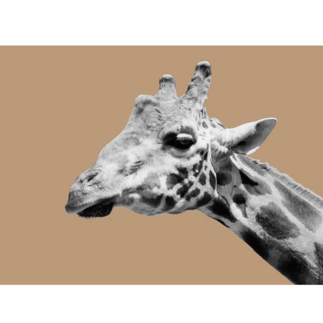 Giraffe - Print Canvas