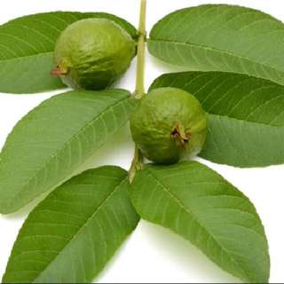 Fresh Guava Leaves - 29 Leaves Per Pks