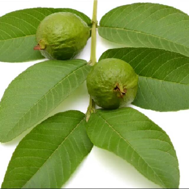 Pictures Of Guava Leaf