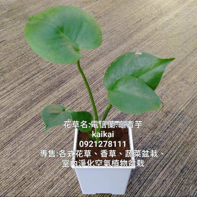 電信蘭(龜背芋)盆栽