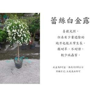 心栽花坊-蕾絲金露棒棒糖白花/1尺盆/造型樹/綠籬植物/觀花植物/綠化植物/售價600特價550