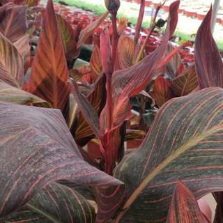 Plant - Canna Red Leaf (2.5 Ft)