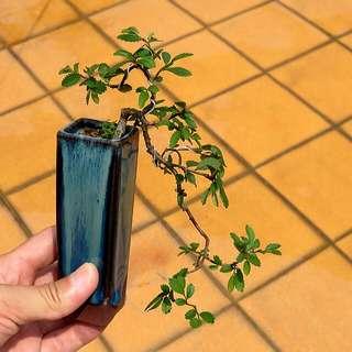 榆樹 盆栽 盆景
