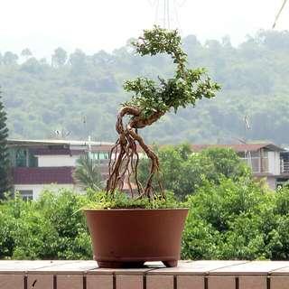 細葉福建茶 盆栽 盆景
